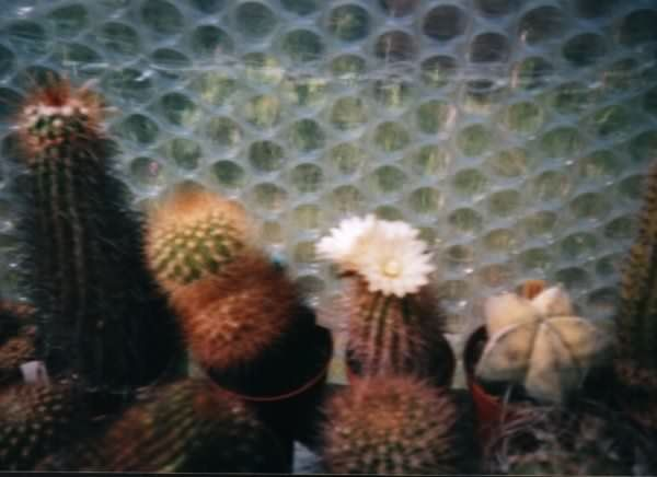 Photograph of Neoporteria chilensis used by cactus page of John Olsen and Shirley Olsen
